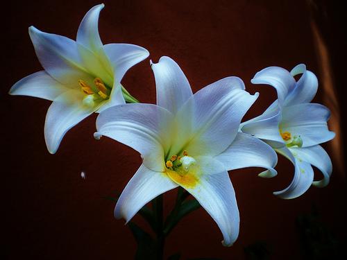 フリー画像| 花/フラワー| 百合/ユリ| ホワイト/花|