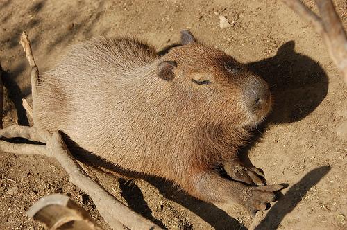 フリー画像| 動物写真| 哺乳類| ネズミ上科| カビパラ| 寝顔/寝相/寝姿|      フリー素材|