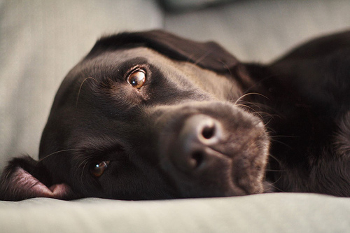 フリー画像  動物写真  哺乳類  イヌ科  犬/イヌ  ラブラドール・レトリバー       フリー素材 