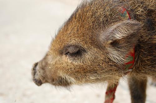 フリー画像| 動物写真| 哺乳類| 猪/イノシシ| うり坊/ウリボウ| 目を閉じる|      フリー素材|