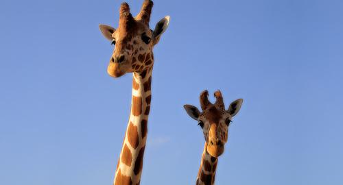 フリー画像| 動物写真| 哺乳類| キリン| 親子/家族|       フリー素材|