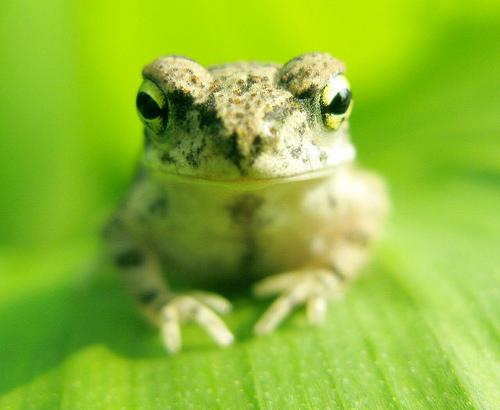 フリー画像| 動物写真| 両生類| 蛙/カエル| 緑色/グリーン|