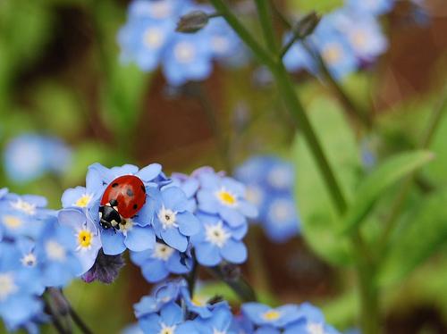 フリー画像| 節足動物| 昆虫| てんとう虫/テントウムシ| 花/フラワー|