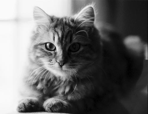 フリー画像| 動物写真| 哺乳類| ネコ科| 猫/ネコ| モノクロ写真|      フリー素材|