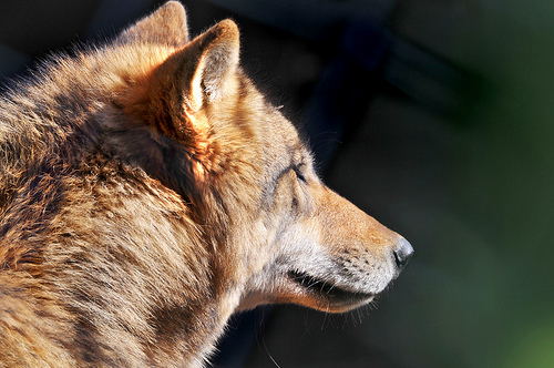 フリー画像| 動物写真| 哺乳類| イヌ科| 狼/オオカミ|       フリー素材|