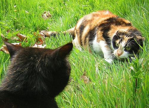 フリー画像| 動物写真| 哺乳類| ネコ科| 猫/ネコ| 格闘/決闘| 三毛猫|     フリー素材|