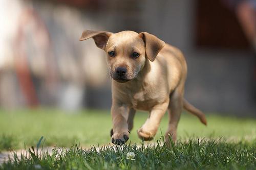 フリー画像| 動物写真| 哺乳類| イヌ科| 犬/イヌ| 子犬| ラブラドール・レトリバー|