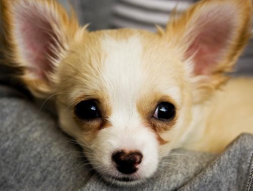 フリー画像| 動物写真| 哺乳類| イヌ科| 犬/イヌ| 子犬| チワワ|     フリー素材|