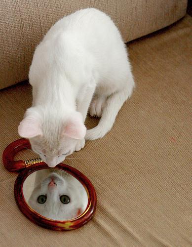 フリー画像| 動物写真| 哺乳類| ネコ科| 猫/ネコ| 白猫| 鏡/ミラー|     フリー素材|