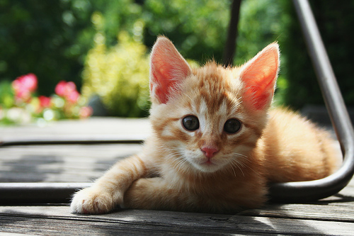 フリー画像| 動物写真| 哺乳類| ネコ科| 猫/ネコ| 子猫| チャトラ|     フリー素材|