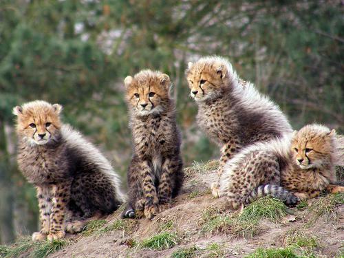 フリー画像| 動物写真| 哺乳類| ネコ科| チーター|       フリー素材|