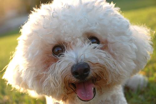 フリー画像| 動物写真| 哺乳類| イヌ科| 犬/イヌ| ビション・フリーゼ|      フリー素材|