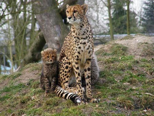 フリー画像| 動物写真| 哺乳類| ネコ科| チーター| 親子/家族|      フリー素材|