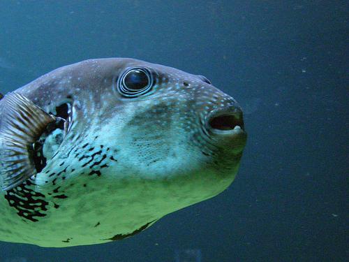 フリー画像| 動物写真| 魚類| 河豚/フグ| 青色/ブルー|       フリー素材|