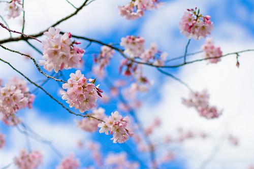 フリー画像| 花/フラワー| 桜/サクラ|         フリー素材|