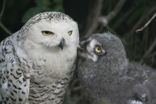フリー画像| 動物写真| 鳥類| 猛禽類| 梟/フクロウ| 白ふくろう/シロフクロウ| 親子/家族| 雛/ヒナ|