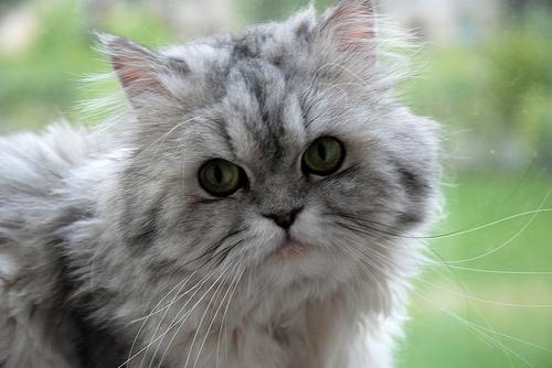 フリー画像| 動物写真| 哺乳類| ネコ科| 猫/ネコ| ペルシャ猫|