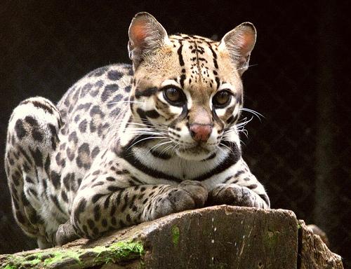 フリー画像| 動物写真| 哺乳類| ネコ科| オセロット|