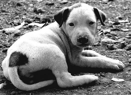 フリー画像| 動物写真| 哺乳類| イヌ科| 犬/イヌ| 子犬| モノクロ写真|