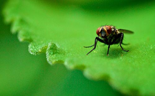 フリー画像| 節足動物| 昆虫| 蝿/ハエ| 葉っぱ| 緑色/グリーン|