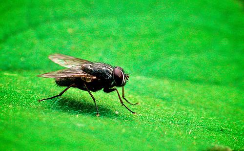 フリー画像| 節足動物| 昆虫| 蝿/ハエ| 緑色/グリーン|