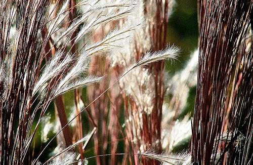 フリー画像| 植物| ススキ| 綿毛|