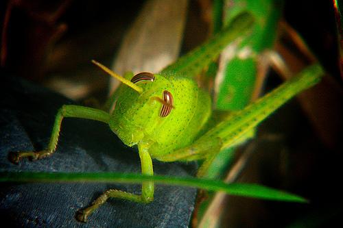 フリー画像| 節足動物| 昆虫| バッタ| 緑色/グリーン|