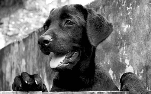 フリー画像| 動物写真| 哺乳類| イヌ科| 犬/イヌ| ラブラドール・レトリバー| モノクロ写真|