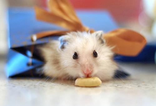 フリー画像| 動物写真| 哺乳類| ネズミ上科| 小動物| ハムスター| プレゼント|
