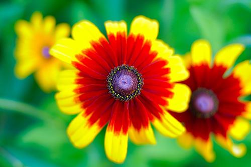 フリー画像| 花/フラワー| ルドベキア・ヒルタ/大はんごん草| イエロー/花|