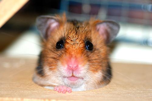 フリー画像| 動物写真| 哺乳類| ネズミ上科| 小動物| ハムスター|