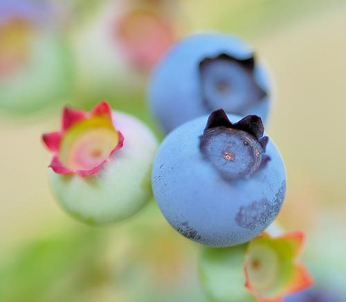 フリー画像| 植物| ブルーベリー| 食べ物| 果物/フルーツ|