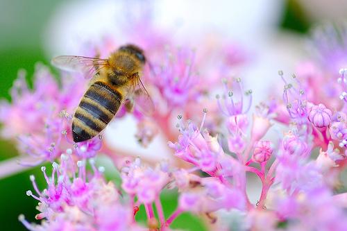 フリー画像| 節足動物| 昆虫| 蜂/ハチ| 蜜蜂/ミツバチ|