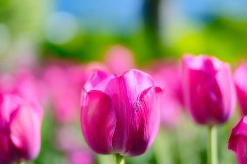 フリー画像| 花/フラワー| チューリップ| ピンク/花|