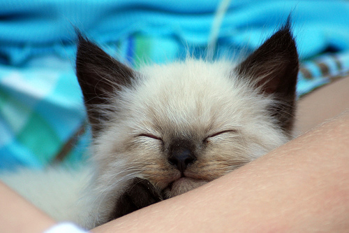 フリー画像| 動物写真| 哺乳類| ネコ科| 猫/ネコ| 子猫| シャム猫| 寝顔/寝相/寝姿|