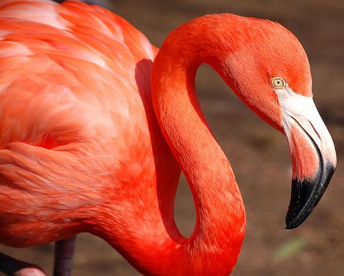 フリー画像| 動物写真| 鳥類| フラミンゴ| 赤色/レッド|