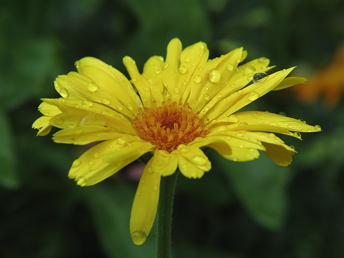 フリー画像| 花/フラワー| キンセンカ/カレンデュラ| 雫/水滴| イエロー/花|