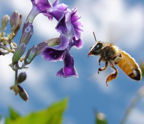 フリー画像| 節足動物| 昆虫| 蜂/ハチ| 蜜蜂/ミツバチ| 花/フラワー|