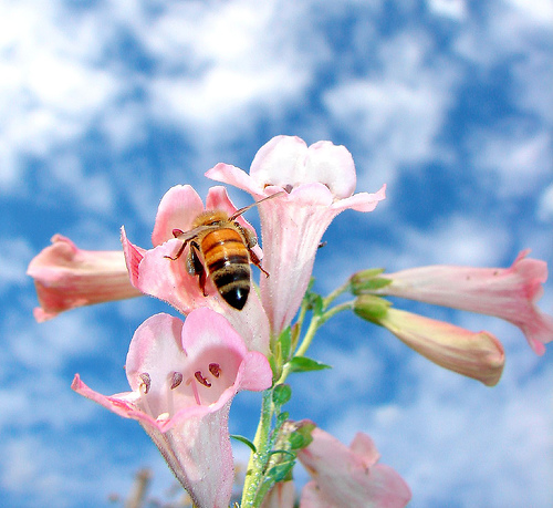 フリー画像|節足動物|昆虫|蜂/ハチ|蜜蜂/ミツバチ|