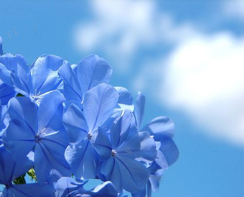 フリー画像| 花/フラワー| ルリマツリ| 青色/ブルー| ブルー/花|
