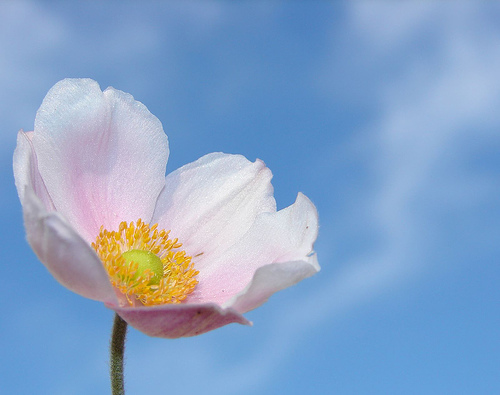 フリー画像| 花/フラワー| アネモネ/牡丹一華/紅花翁草| ピンク/花|