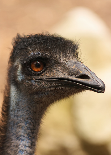 フリー画像| 動物写真| 鳥類| エミュ|