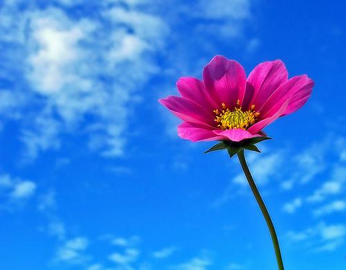 フリー画像| 花/フラワー| コスモス| 空の風景| 青色/ブルー| ピンク/花|