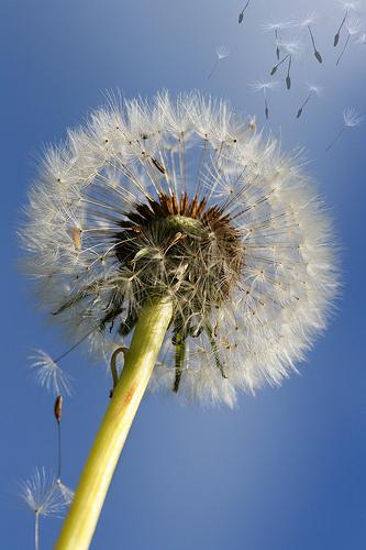 フリー画像| 植物| たんぽぽ/タンポポ| 綿毛|