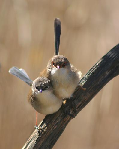 フリー画像| 動物写真| 鳥類| 野鳥| ルリオーストラリアムシクイ| 雌/メス|