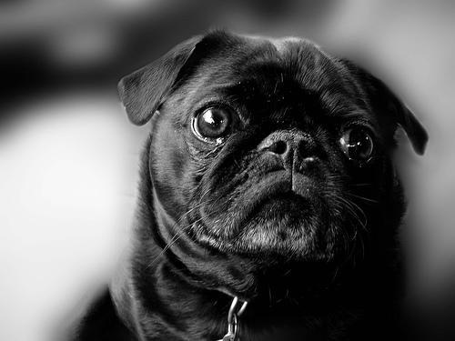 フリー画像| 動物写真| 哺乳類| イヌ科| 犬/イヌ| パグ| 子犬| モノクロ写真|