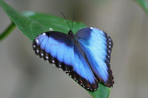 フリー画像| 節足動物| 昆虫| 蝶/チョウ| ブルーモルフォ| 青い蝶|