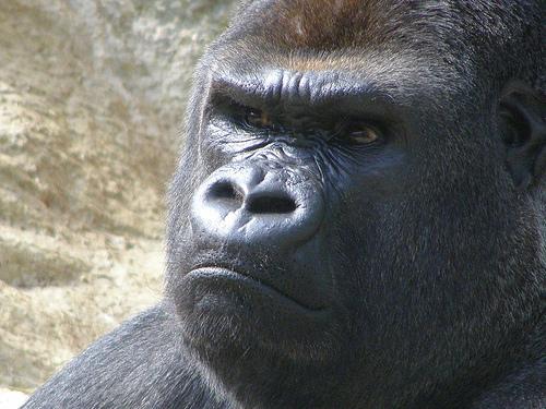 フリー画像|動物写真|哺乳類|猿/サル|ゴリラ|