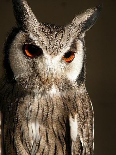 フリー画像| 動物写真| 鳥類| 猛禽類| 梟/フクロウ| コノハズク| アフリカオオコノハズク|