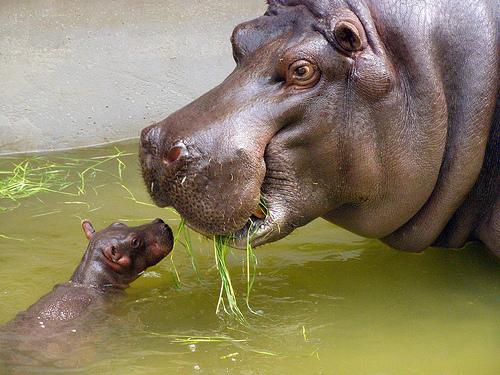 フリー画像| 動物写真| 哺乳類| 河馬/カバ| 親子/家族|